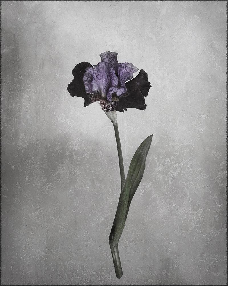 Tracy Ponich: <em>Velvet Ruffles</em>, photographic print, 2020