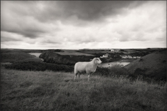 Tracy Ponich. Portrait of a Sheep 2 (In Profile).